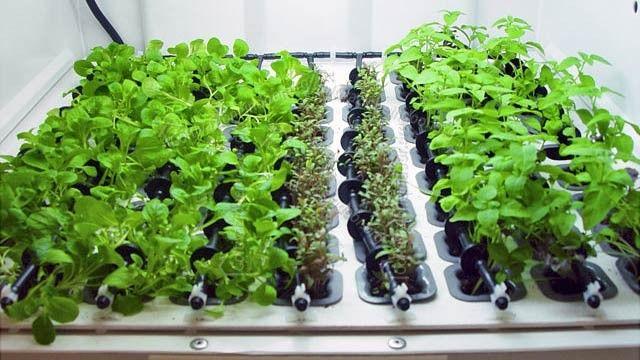 coltivare peperoncino indoor