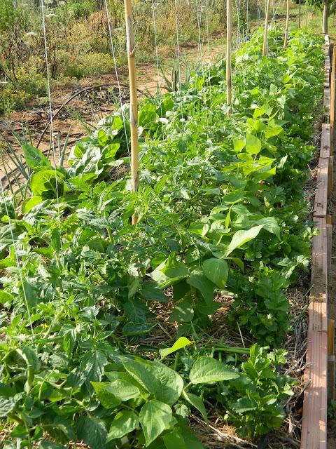 coltivare peperoncino outdoor