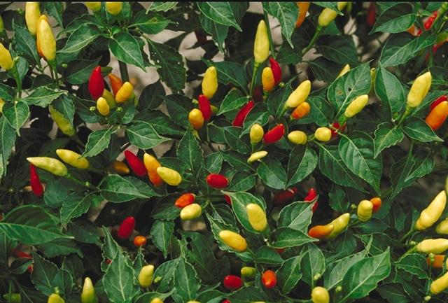 peperoncini piccanti capsicum frutescens