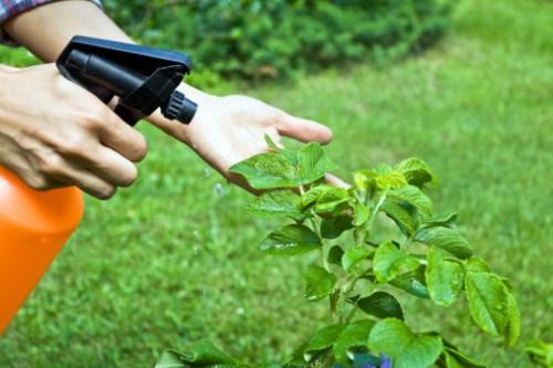 coltivare peperoncino malattie peperoncino