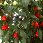 Bishop's Crown – Capsicum Baccatum