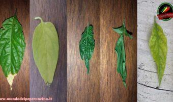 Problemi foglie peperoncino: La guida definitiva