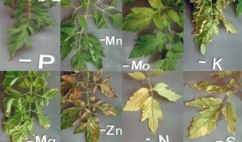 Applicazione web per identificare la carenza di nutrienti del peperoncino