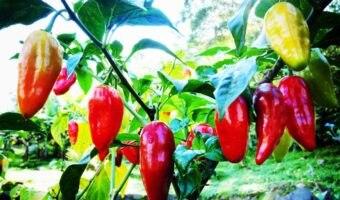 Vasi per peperoncino: come scegliere il migliore?