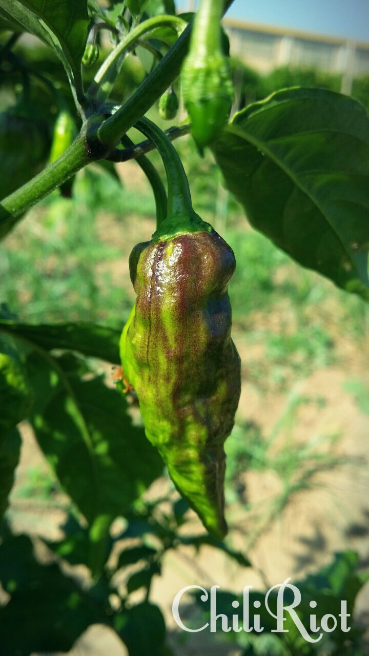 impollinazione pimenta