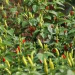 Tabasco – Capsicum Frutescens