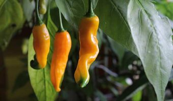 "Aji Amarillo Capsicum Baccatum<span class=""rating-result after_title mr-filter rating-result-189"" >			<span class=""no-rating-results-text"">No ratings yet.</span>		</span>"