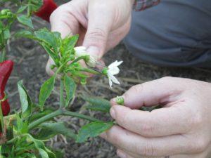 impollinazione peperoncino