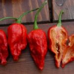 "Naga Morich – Capsicum Chinense<span class=""rating-result after_title mr-filter rating-result-201"" >			<span class=""no-rating-results-text"">No ratings yet.</span>		</span>"