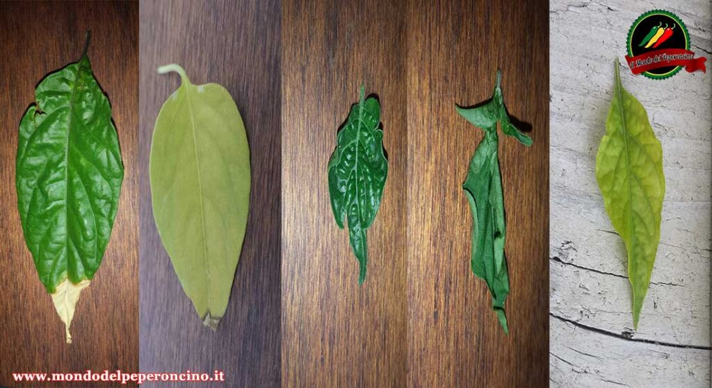 problemi foglie peperoncino