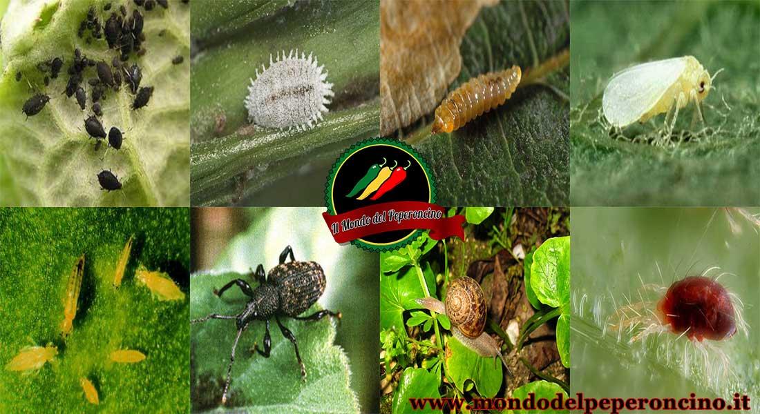 Parassiti del peperoncino: come riconoscerli e combatterli