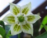 varietà di peperoncino capsicum baccatum