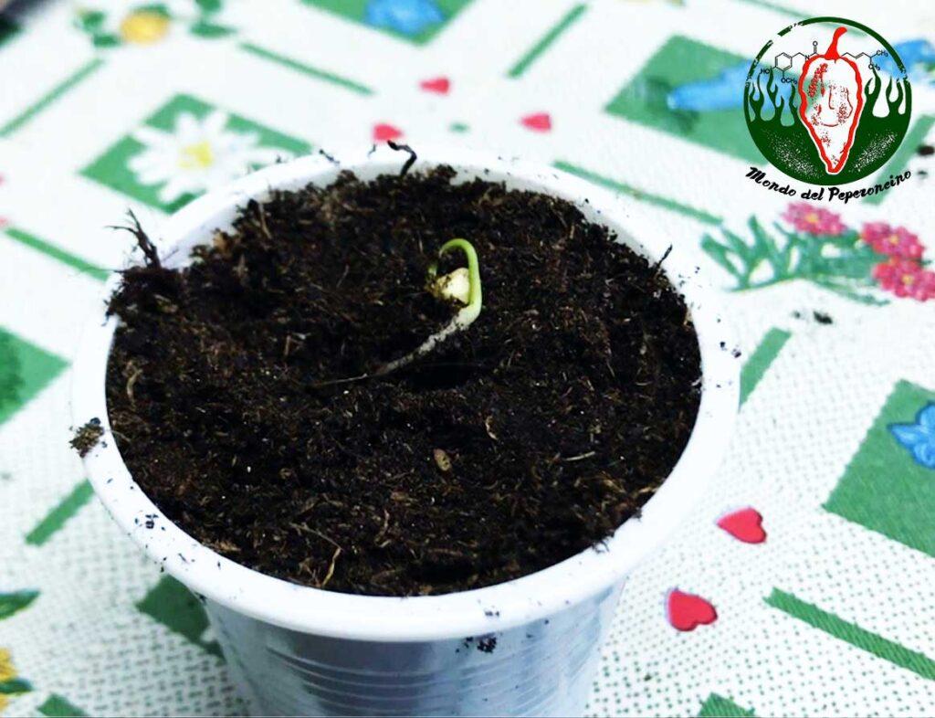 travasare peperoncino da germbox al vasao
