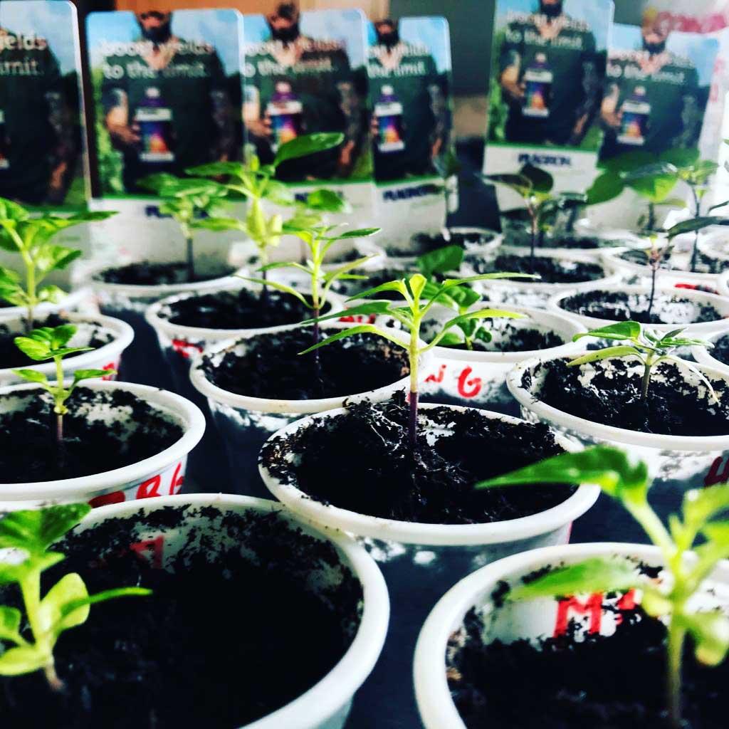 fertilizzare peperoncini piccanti