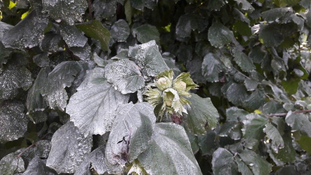 proteggere piante di peperoncino caolino