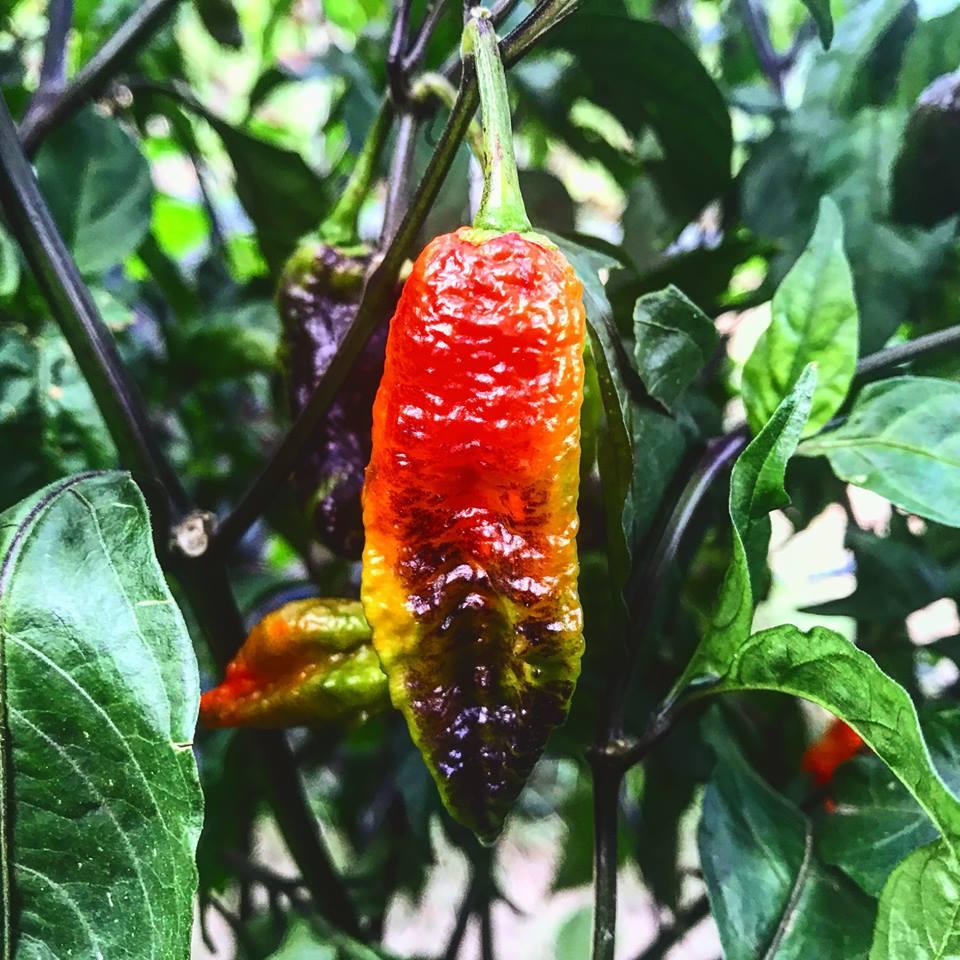 come impollinare peperoncino