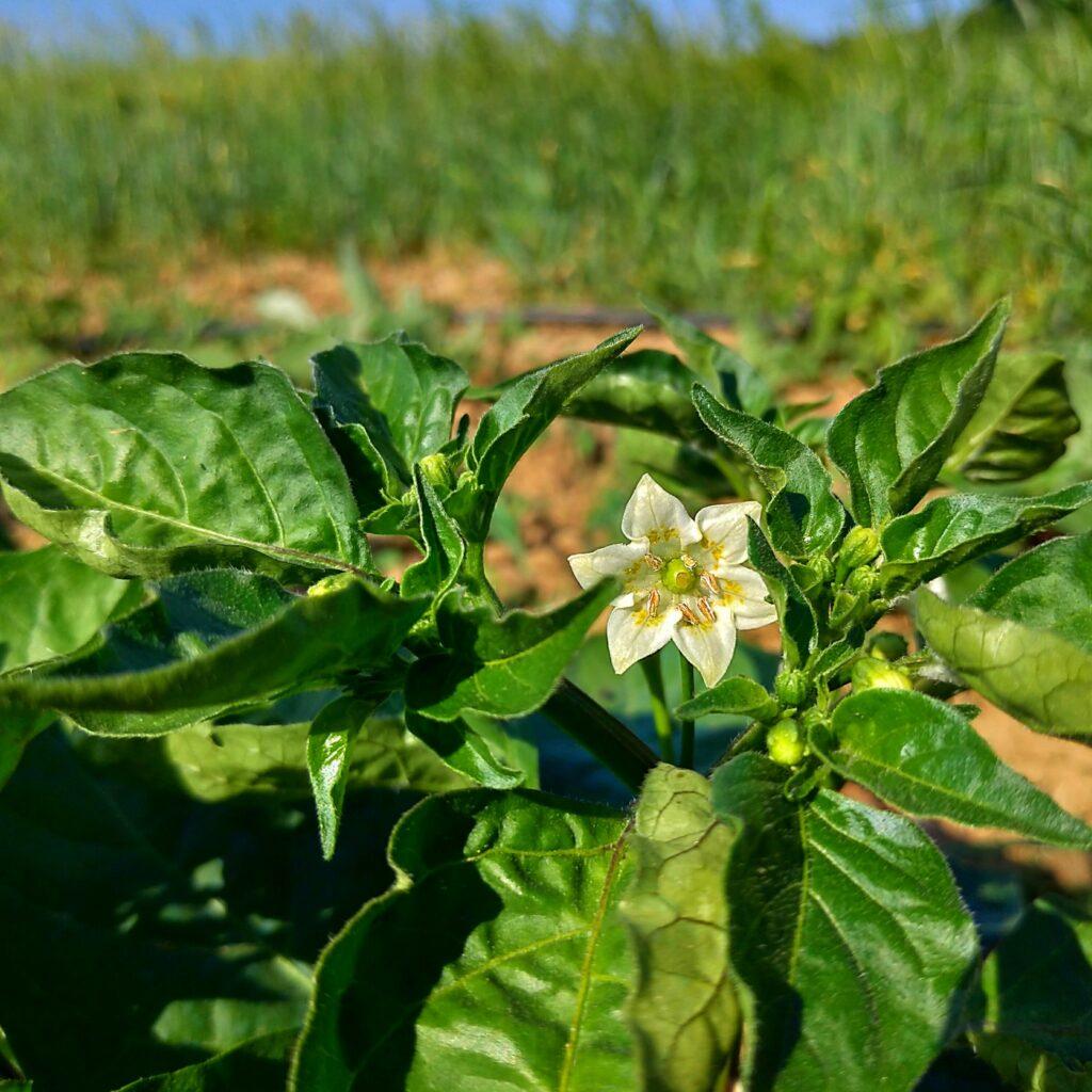 fiori di peperoncini piccanti