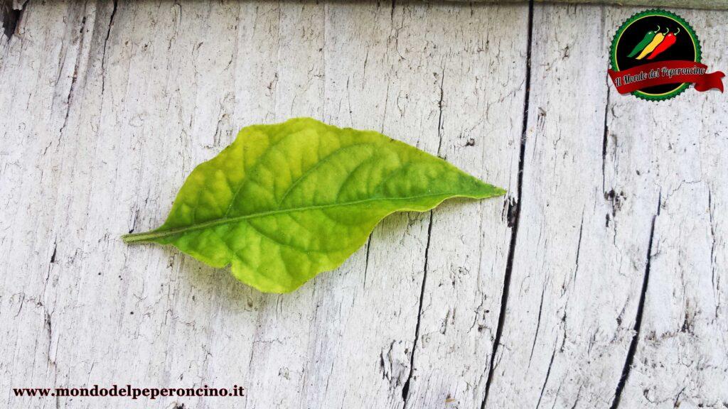 problema foglie peperoncino sbiadite