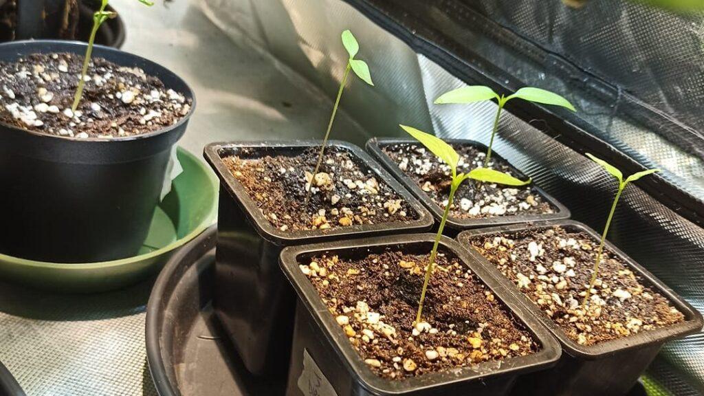 piante peperoncino filano