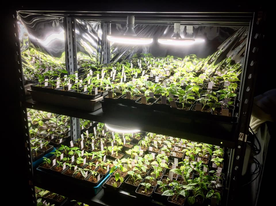 coltivare peperoncini piccanti growbox
