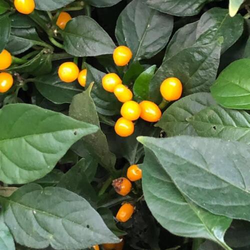 aji charapita capsicum chinense