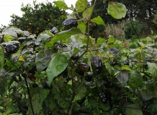 pianta di pimenta puma