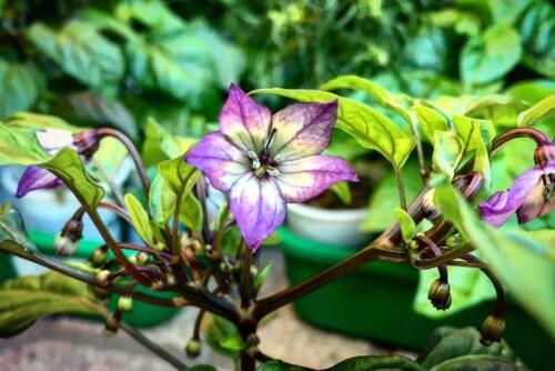 fiori di masquerade
