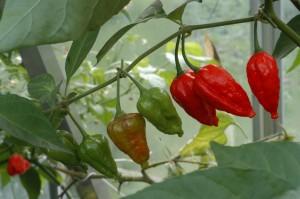 varietà di peperoncino Naga Morich