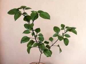 Pimenta da Neyde Capsicum Chinense